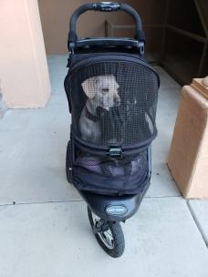 Puppies in stroller
