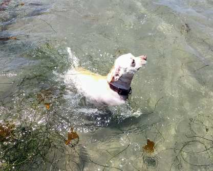 Bella is getting acclimated to the water. The water was exceptionally warm.